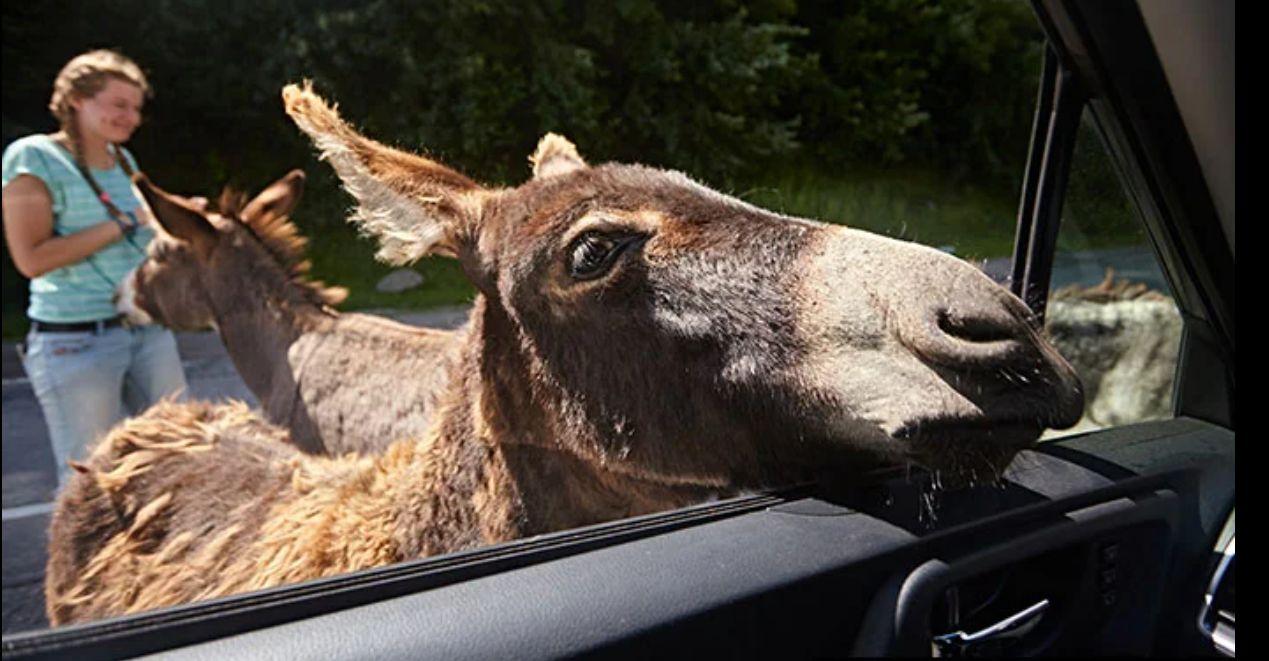 Осел лезет в окно автомобиля на Кипре