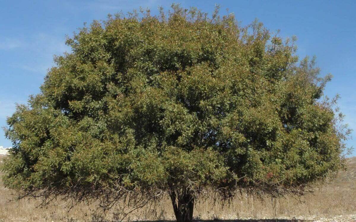 Терпентинное дерево